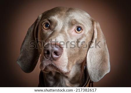 Weimaraner dog portrait - stock photo