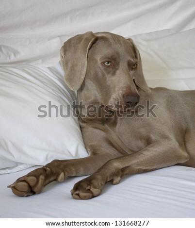 Weimaraner Dog reclining in Bed - stock photo