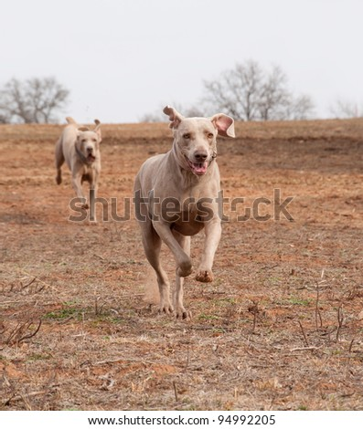 Weimaraner dog running full speed towards the viewer with another one following - stock photo