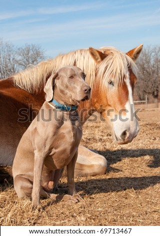 Weimaraner dog sitting next to his resting friend, a huge Belgian Draft horse - stock photo