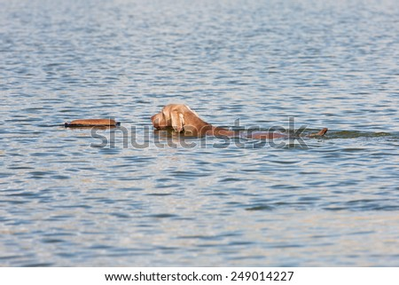 Weimaraner dog swimming with a stick - stock photo