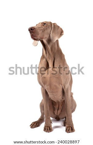 Weimaraner female dog sitting in front of white background, isolated on white - stock photo