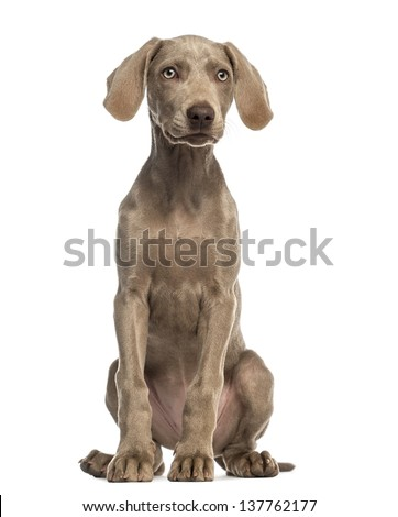 Weimaraner puppy, 2,5 months old, sitting and facing, isolated on white - stock photo
