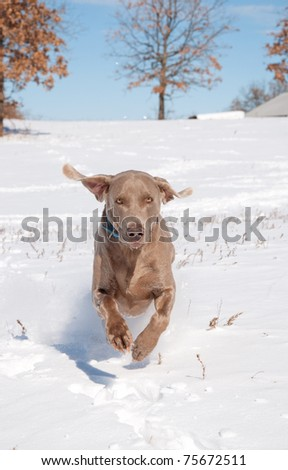Weimaraner running in deep snow toward the viewer - stock photo