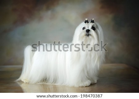 Well groomed beautiful white Maltese dog - stock photo
