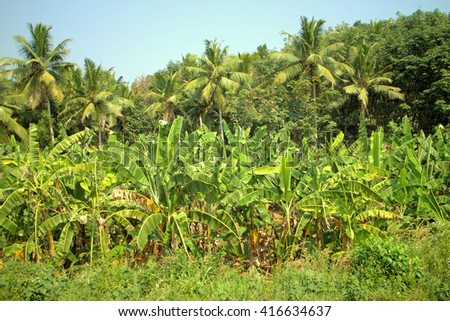 Well-maintained plantations of banana and coconut palms 1. Pleasing to eye tropical garden.  - stock photo