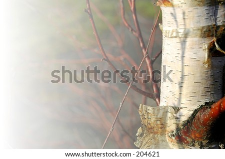 well weathered silver birch tree bark with fade to white - stock photo