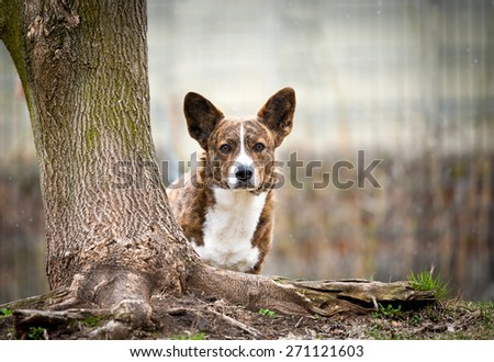 Welsh Cardigan Corgi looking out behind the tree in the spring - stock photo