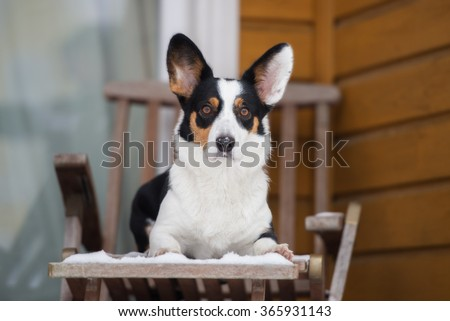 welsh corgi cardigan dog outdoors in winter - stock photo