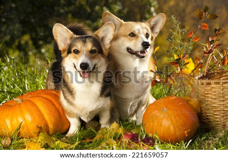 Welsh Corgi Pembroke dog and pumpkin - stock photo