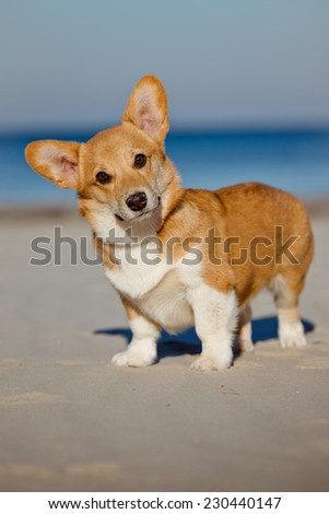 welsh corgi pembroke dog portrait - stock photo