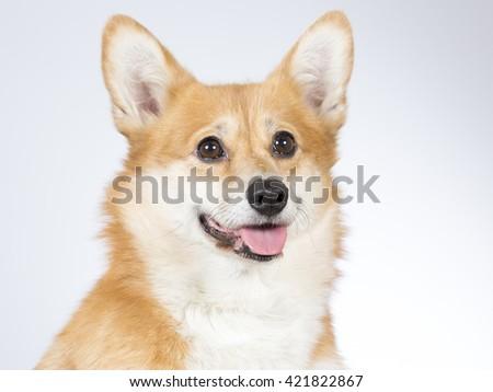 Welsh Corgi Pembroke dog portrait. Image taken in a studio. - stock photo