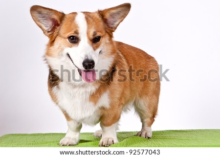 Welsh Corgi Pembroke dog sticking out tongue over white - stock photo