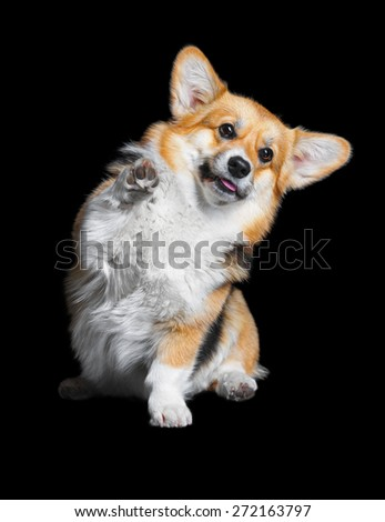 Welsh Corgi Pembroke high five, isolated on the black - stock photo