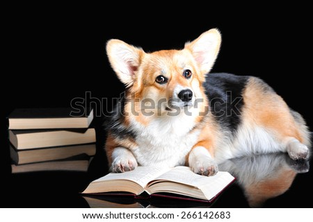 Welsh Corgi Pembroke  isolated on black - stock photo