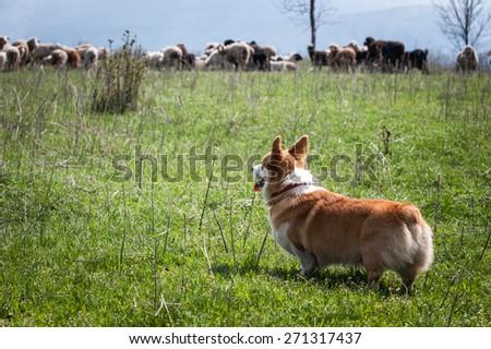 Welsh corgi pembroke looking at a flock of sheep at a distance - stock photo
