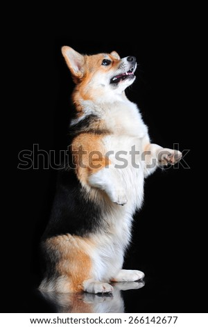 Welsh Corgi Pembroke performs tricks - stock photo