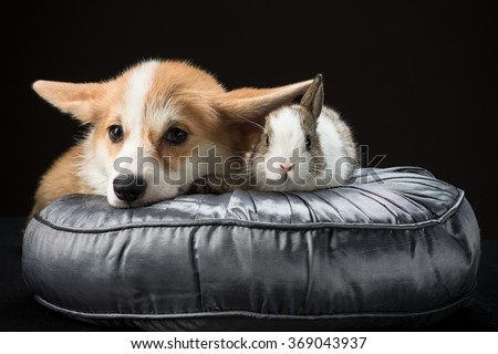 Welsh corgi pembroke puppy and a bunny rabbit laying on a silky cushion together - stock photo