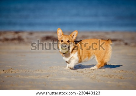 welsh corgi pembroke puppy playing with a ball - stock photo
