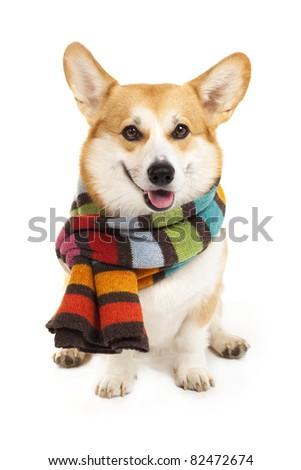 Welsh corgi pembroke wearing stripe scarf - stock photo