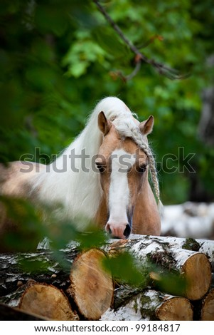 Welsh palomino pony in forest - stock photo