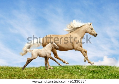 welsh pony mare and foal in field - stock photo