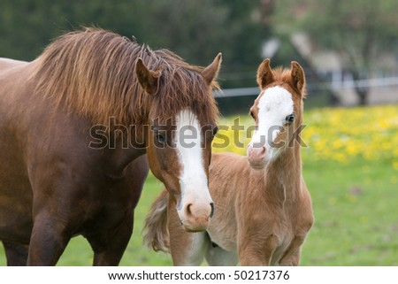 Welsh pony mare with nice foal - stock photo