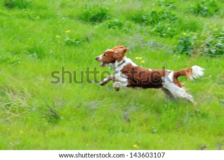 Welsh Springer Spaniel Running Through Grass With Flowers - stock photo