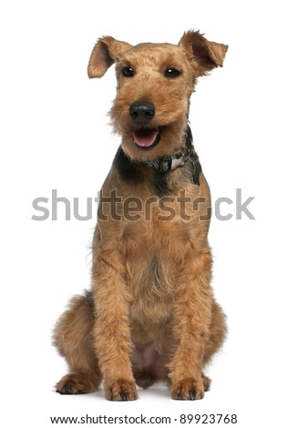 Welsh Terrier, 6 years old, sitting in front of white background - stock photo