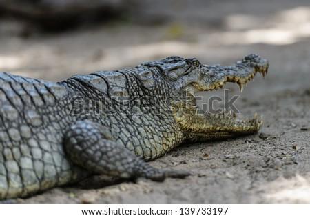 West African crocodile or desert crocodile,  Republic of Congo, Uganda, Gambia, Senegal, Mauritania, Burkina Faso, Ivory Coast, Chad. Benin, Zimbabwe, Central African Republic, and Nigeria. - stock photo