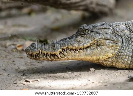 West African crocodile profile portrait - stock photo