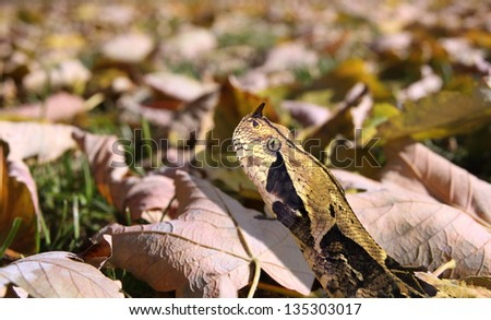 West African gaboon viper, Bitis rhinoceros, one of the most poisonous snakes in the world - stock photo