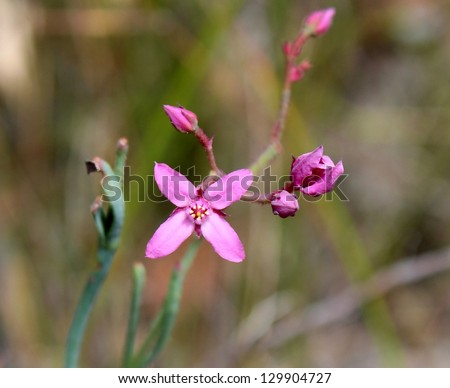 West Australian wildflower  Pink Boronia  flowering in  forest in springtime after good winter rains. - stock photo