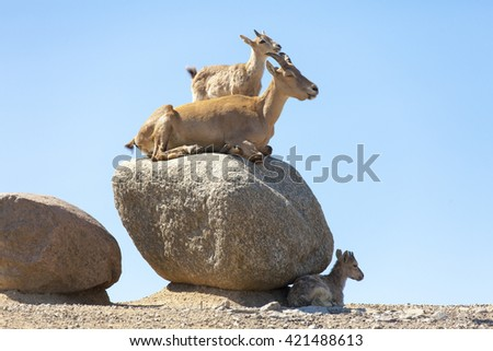 West Caucasian Turs are laying on the sand in zoo - stock photo