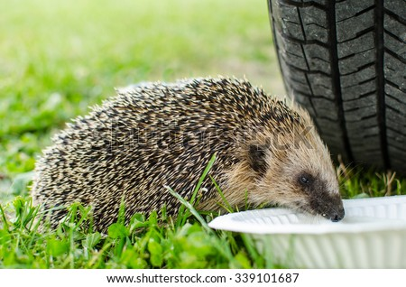 West European hedgehog (Erinaceus europaeus) drinking from a plate - stock photo