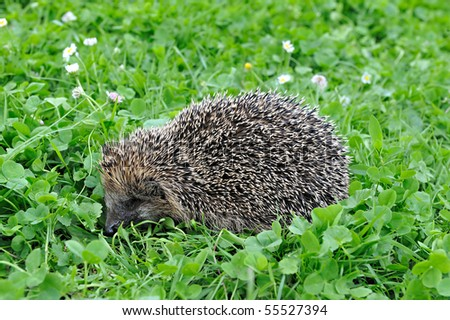 West European Hedgehog in a grass - stock photo