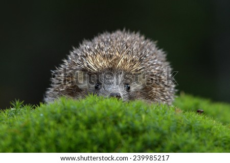 West European Hedgehog in green moss with dark background during autumn - stock photo