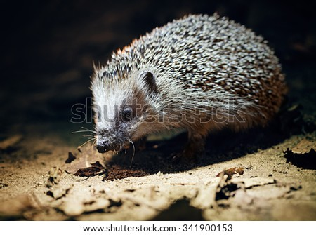 West European Hedgehog in natural habitat, dark background - stock photo