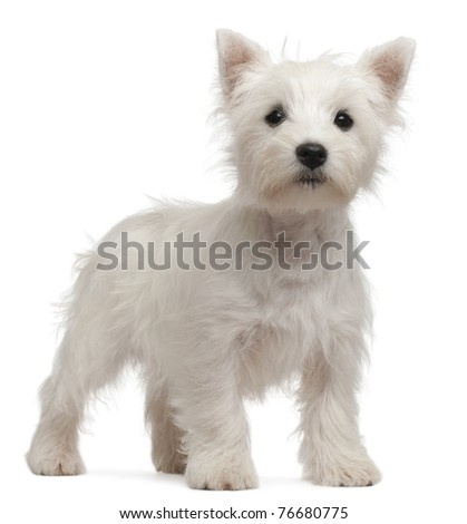West Highland Terrier puppy, 4 months old, in front of white background - stock photo