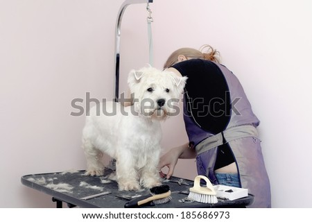 West Highland White Terrier dog haircut at the beauty salon for animals. - stock photo