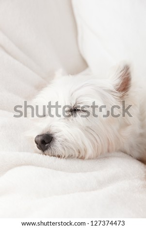 West Highland White Terrier in white background - stock photo