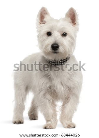 West Highland White Terrier, 8 months old, standing in front of white background - stock photo