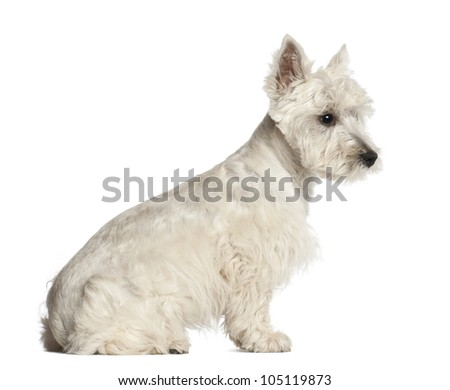 West Highland White Terrier puppy, 6 months old, sitting against white background - stock photo