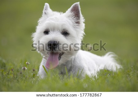 West Highland White Terrier puppy over nature background - stock photo