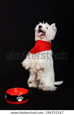 West Highland White Terrier seatedn on a black background  - stock photo