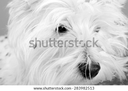 West highland white terrier with confetti. - stock photo