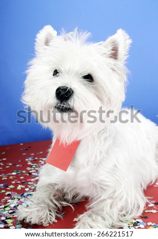 West highland white terrier with copy-space note. - stock photo