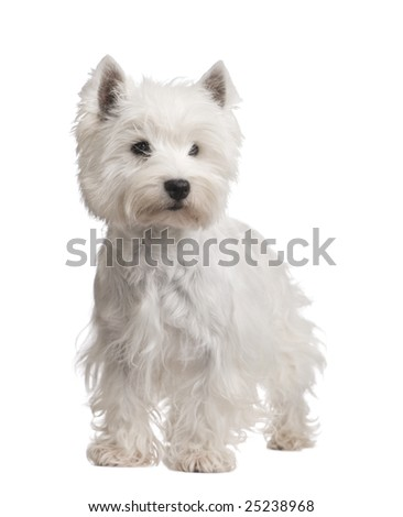 West Highland White Terrier (3 years) in front of a white background - stock photo