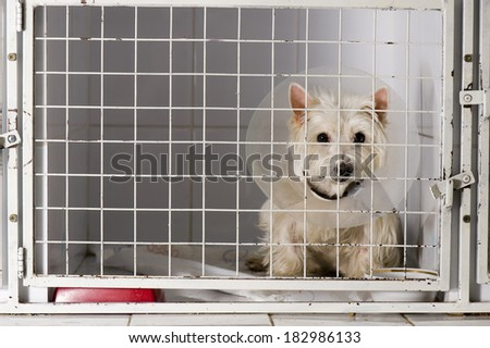 West higland white terrier in an animal shelter, waiting for a home - stock photo