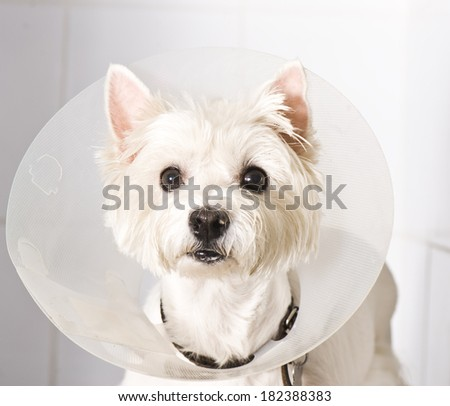 West higland white terrier wearing an elizabethan collar  - stock photo